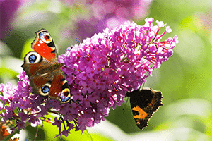 Buddleia Flower and Butterfly