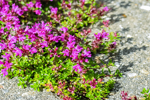 Creeping Thyme Flowers and Plant