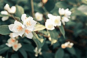 Night Blooming Jasmine Flowers