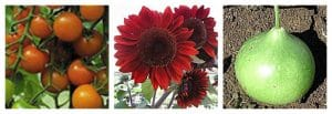 Hybrids, plants, flowers, growing