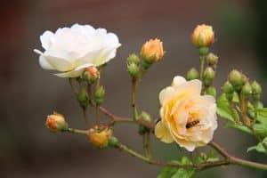 rose pruning spring rejuvinate healthier